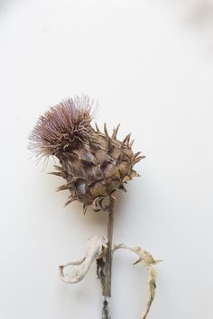 from the garden, cardoon. seeds from monticello. photo by rinne allen