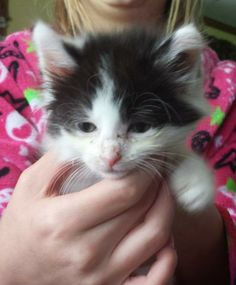 Meet Cookies a Petfinder adoptable Domestic Medium Hair Cat | Evans, WV | COURTESY POSTCookies, Cream, and Precious are three little kittens that were pulled from a feral...
