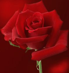Google+rose gif