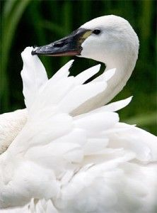 Trumpeter Swan Beautiful Swan, Beautiful Birds, Love Birds, Swans, Trumpeter Swan, Swan Song, Ugly Duckling, Bird Pictures, Swan Lake