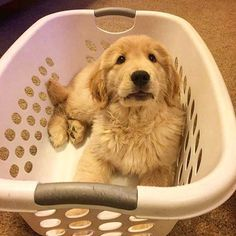 """Excellent """"golden retrievers"""" information is readily available on our site. Cute Puppies, Dogs And Puppies, Cute Dogs, Doggies, Animals And Pets, Baby Animals, Cute Animals, I Love Dogs, Puppy Love"""