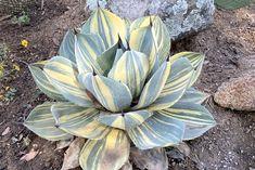 See Hidden Agave Nursery's Rare Agaves | Debra Lee Baldwin