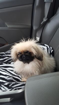 The origin of Shih Tzu is ancient and is covered in a lot of mystery. It has been established that this dog is among the 14 oldest breeds and bones excavated in Chien Shih Tzu, Shih Tzu Dog, Shih Tzus, Cute Baby Animals, Animals And Pets, Funny Animals, Cute Puppies, Cute Dogs, Dogs And Puppies