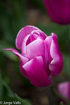 Purple Tulip - Beautiful
