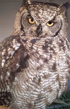 Libby our African Spotted Eagle Owl