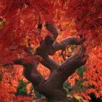 Japanese Maple Leaf Tree
