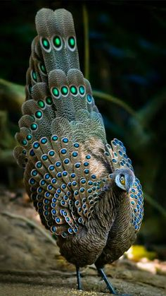 The grey peacock - pheasant (Polyplectron bicalcaratum), also known as  Burmese…