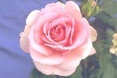 Westminster Pink  Selling Name (UK): Westminster Pink  Varietal Name: Fryamour