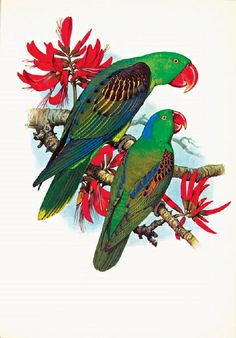 Cooper - Great Billed Parrot from 'Parrots of the World' 1973 Australian Birds, Australian Artists, Animal Drawings, Drawing Animals, Pencil Drawings, What Is A Bird, Crazy Bird, Tropical Birds, Bird Illustration