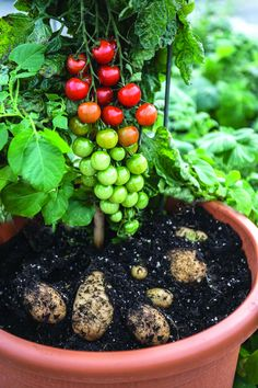 Ketchup 'n' fries - Cherry tomatoes & potatoes grafted in one plant