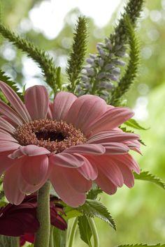 Gerbera in Pink Nature flower Bokeh photography