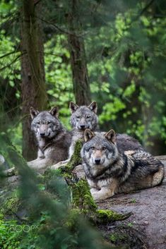 Left to right-wing Ázzuen, Kaala, Marra Wolf Images, Wolf Photos, Wolf Pictures, Beautiful Creatures, Animals Beautiful, Cute Animals, Wild Animals, Tier Wolf, Wolf Hybrid