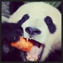 Hungry! (Panda Hao Hao) #panda #pandas #belgium #pandasbelgium