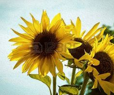 Sunflower painting effect