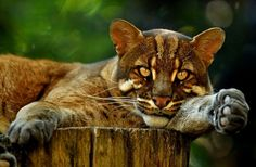 Golden Eye, photo by Svenimal of a Golden Cat at the Zoo Heidelberg