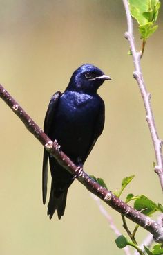 Bird - Purple Martin