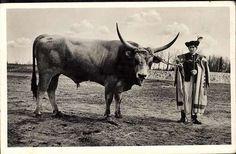 A puszta dísze | Képeslapok | Hungaricana Alien Concept, Budapest Hungary, Vintage Photography, Cattle, Countryside, Moose Art, The Past, History, Around The Worlds