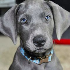 Blue Great Dane puppy. Please?