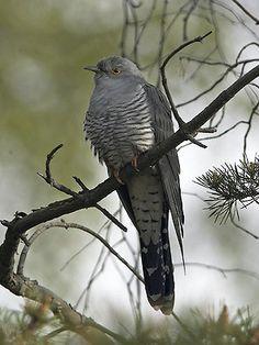 "käki - cuculus canorus, all people in Finland love this ""kukkuu"" bird Bird Drawings, Beautiful Birds, Bird Houses, Finland, Sweden, Natural Beauty, Scenery, Google Search, Nature"