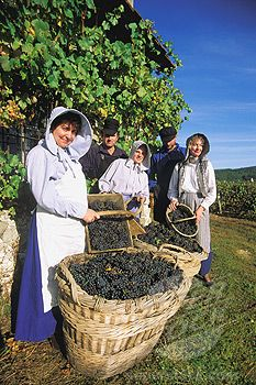 Grape-pickers at work in traditional costumes - Marne dept. - Champagne-Ardenne région, France       ....www.superstock.com