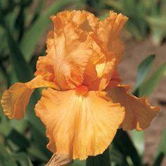 Reblooming German Iris Orange Harvest