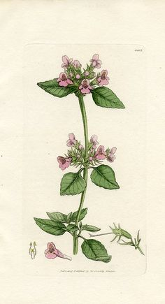 Wild Basil (Clinopodium vulgare) English Botany - First Edition (England,1805)