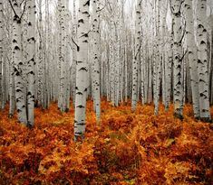 Aspen Forest in Colorado. It looks beautiful and peaceful, but also a little eery and mysterious...