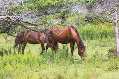 Ocracoke Ponies. Photo by Kim Davis