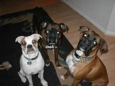foster a boxer is an adoptable Boxer Dog in Phoenix, AZ.  The dogs shown in this picture are not up for adoption. They are part of the Almost Home Rescue program. Can you believe that they were found ...