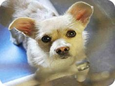 Scottsdale, AZ - Chihuahua Mix. Meet JASPER a Dog for Adoption.