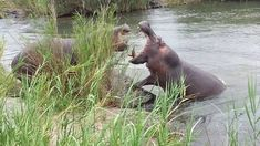 Hippo Bull claims his territory in the Sabie River close to Lower Sabie ...
