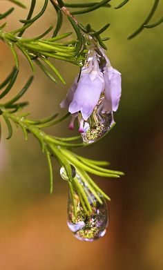 I live for the regenerative power of the rain drops here in the forest. Rosemary, a drought thriving herb. CH.