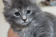 i want! my cat is grey, did he look like this as a kitten???