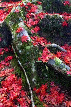 Still life . the fallen Autumn leaves of a Japanese Maple . the one sad part of magical, glorious Fall. Autumn Trees, Autumn Leaves, Flora, Maple Tree, Japanese Maple, Tree Leaves, Fall Pictures, Natural Wonders, Natural World