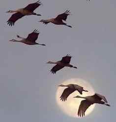 Sandhill cranes against the moon, 2011. (Paul A. Johnsgard)