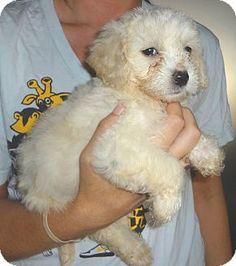 Adopt a Pet :: Photo 1: Payton - Corona, CA -  Maltese/Poodle (Miniature) Mix