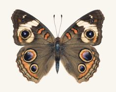 Fine art butterfly photography print of a Common Buckeye Butterfly, Junonia coenia, by Allison Trentelman.