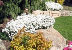 """Iberis (Candy Tuft):  A low-growing, spreading, woody-based, herbaceous perennial (subshrub) which typically forms a foliage mound 6-12"""" tall,  spreading to 18"""" wide. It is evergreen in warm winter climates, but semi-evergreen in cold winter climates.  Small, pure white, 4-petaled flowers in dense, flattened clusters (corymbs) appear in a profuse, early-to-late-spring bloom which often totally obscures the foliage.  Excellent edging plant for borders, paths or walkways, rock gardens or wall."""