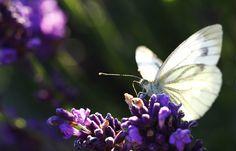 Koolwitje op een vlinderstruik