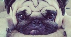 Just Pinned to Pugs: Pug face http://ift.tt/2nDSJL4