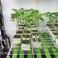 San Marzano Tomato Plant Establishing in Rockwool in GroWell Hydroponics Sheffield