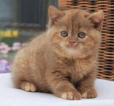 Chocolate kitten <3 #cats #cattoys #catowners