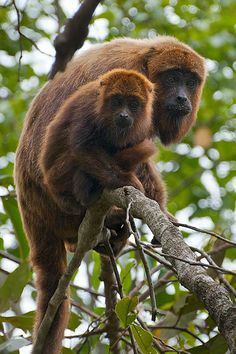 Brown Howler (Alouatta guariba) - lives in forests in south-east Brazil and far north-east Argentina. Orange Monkey, New World Monkey, Baby Animals, Cute Animals, Types Of Monkeys, Ape Monkey, Chimpanzee, Orangutans, Baboon