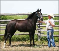 For Sale - SLUSH CREEKS LOLLIPOP TWHBEA #20312434 - (SLUSH CREEKS JUBAL S x DAKOTA GUMDROP) - 15.2 hand, black Tennessee Walking Horse mare, with an off hind sock, near hind fetlock, star, and a snip.Foaled 05/08/2003. Priced at $3000 Horse is located in Montana. Overseas transport can be arranged.  http://www.walkerswest.com/Stalls/SlushCreeksLollipop.htm