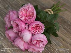 David Austin Wedding rose Carey