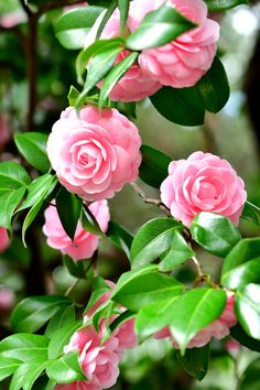 Camellias: 10 steps to cut them- Camélias : 10 étapes pour les bouturer You love your camellia and you want to cut it? Learn how to do this in 10 steps. Beautiful Flowers Pictures, Beautiful Flowers Wallpapers, Beautiful Rose Flowers, Flowers Nature, Flower Pictures, My Flower, Pretty Flowers, Cactus Flower, Exotic Flowers