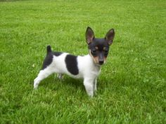 Toy Rat Terrier / Toy Fox Terrier Puppy. for sale in Terrace, British ...