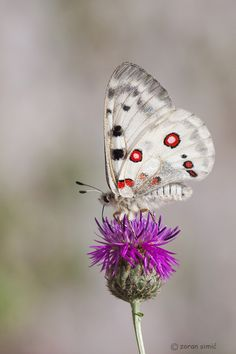 Parnassius apollo (Apollo); Butterfly and macro photography by Zoran Simic.