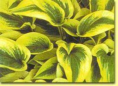 Hosta 'Shazaam' ~ Pointed Foliage That's Dark Green w/ A Wide Creamy Border & Lavender Flowers.