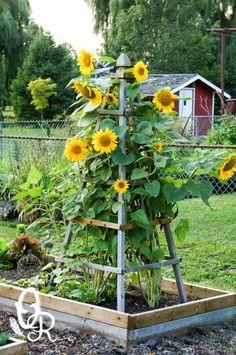 Front Yard Garden Design Delightfully Pretty Wooden Sunflower Pyramid - DIY Flower tower ideas are a great way to add some color, and the height really helps you maximize your space. Find the best designs! Plant Structure, Garden Structures, Plants, Screen Plants, Country Gardening, Front Yard Landscaping, Diy Garden Trellis, Backyard Garden, Mailbox Landscaping